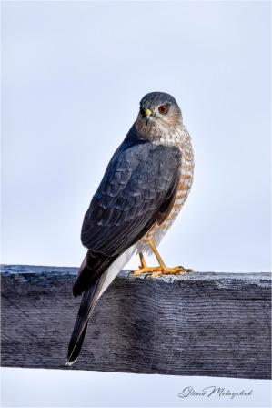 Sharp-shinned Hawk © Gloria Melnychuk