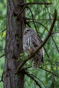 Larry Citra © Barred Owl and Prey