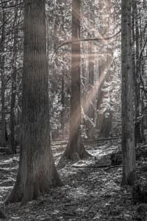 Larry Citra © Sunbeam and Cedars - B&W