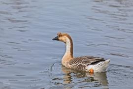 Nancy chinese goose