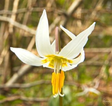 Nancy Cunningham fawn lily