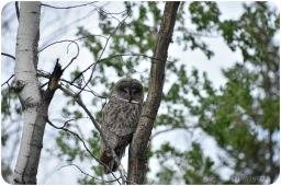 Bill Melnychuk - Great Grey Owl, Little Green Lake Road, Cariboo June 2021