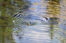 Cliff Thorsteinson - Duck and Water Reflections