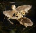 Diane Hopp - Scout Island - Gosling Trio