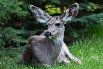 Diane Hopp - Spring Buck - All Ears