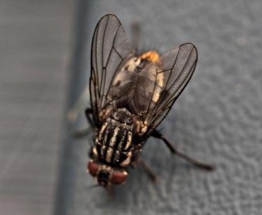 Doug Boyce - House Fly