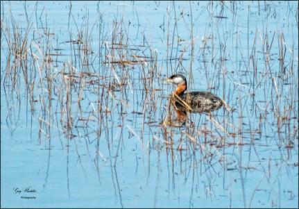 Gary Hardaker- A Grebe in the Reeds