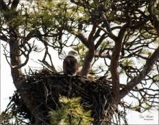 Gary Hardaker- Return of the Eagle (Missezula Lake)