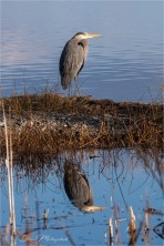 Gloria Melnychuk - Great Blue Heron at Green Lake April 2021