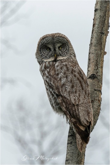 Gloria Melnychuk - Great Grey Owl, Cariboo June 2021