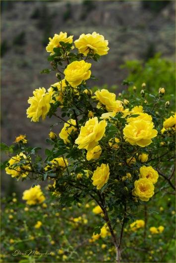 Harrison's Yellow Rose © Gloria Melnychuk - Hi Bar homestead June 2020 - aka Oregon Trail Rose and the Yellow Rose of Texas, Harison's Yellow can be found all along the pioneer trail.