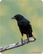 Gloria Melnychuk - Red-winged Blackbird May 2021