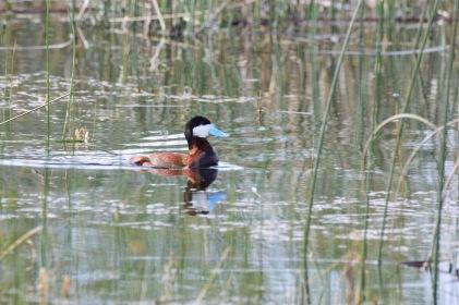 Maureen Nelson ruddy duck2