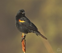 Nancy red winged blackbird in the early morning