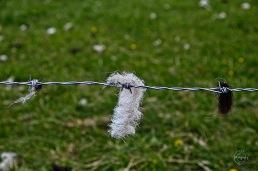 Lambs wool on fence