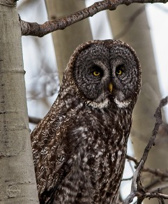 Ray Waters Owl