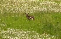 Diane Hopp - Fawn in a Field of Flowers