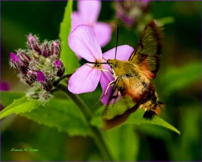 Diane Hopp - Hummingbird Moth on Evening Scented Stock