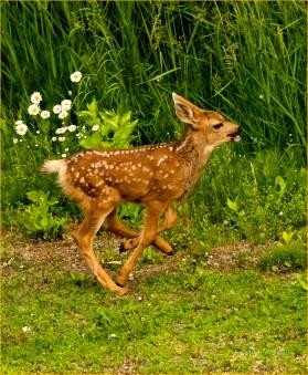 Diane Hopp - Mule Deer Fawn - Just Running