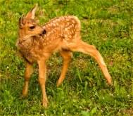 Diane Hopp - Mule Deer Fawn - The Golden One