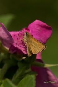 Diane Hopp - Skipper on a Rose
