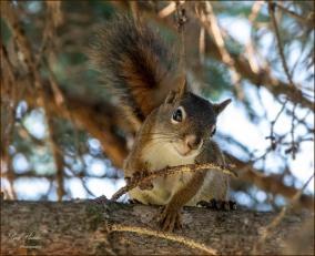 Gary Hardaker- Chip- Our Resident Squirrel
