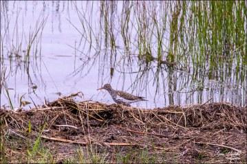Gary Hardaker- Spotted Sandpiper (breeding plumage)