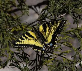 Gary Hardaker- The Elusive Butterfly