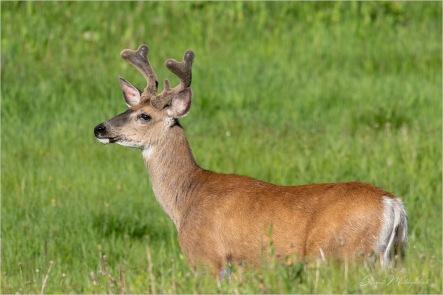 Gloria Melnychuk - Mule Deer Buck, Cariboo June 2021