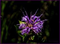 Kevin Haggkvist...Wild Flower