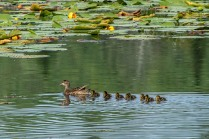 All My Ducks in a Row © Larry Citra