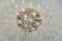 Dandelion Stars© Larry Citra