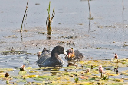 Nancy Cunningham Coot and baby