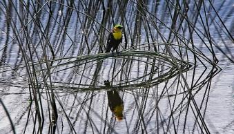Ray Waters Bird on sinking reed