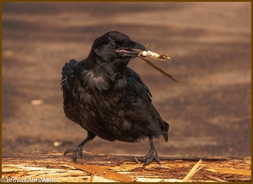 Busy crow