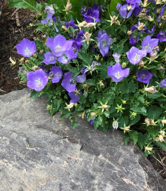 Campanula (Bell Flower) - Derek Chambers