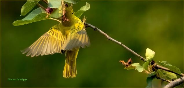 Diane Hopp - Yellow Warbler Hunting Aphids
