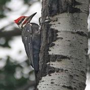 Doug Boyce - Pileated Woodpecker 2
