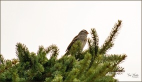 Gary Hardaker- White- crowned Sparrow