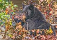 AMB Bear eating berries_