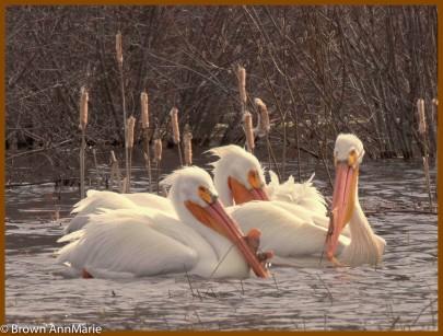 AMB Pelicans_