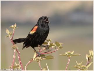 Singing blackbird
