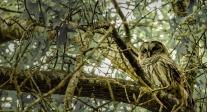 CJJ-Barred Owl
