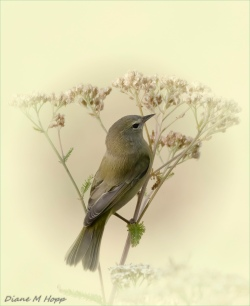 Diane Hopp - Female Yellow Warbler