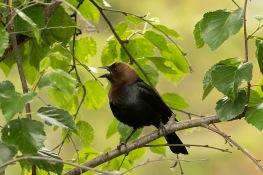 Brown Headed Cowbird - Kathy Wright