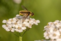 Hover Fly - Kathy Wright