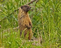 Nancy Cunningham - Marmot on the lookout