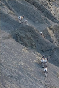 DMHopp - Farwell Canyon Sheep on Hillside