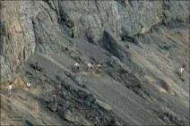 Gary Hardaker- Sheep on the run- Farwell Canyon