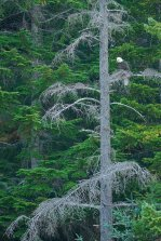 Larry Citra © Eagle in Tree, Tallheo, N Bentinck Arm